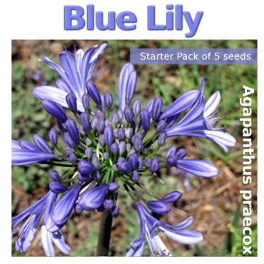 Agapanthus praecox, Blue Lily (contains 5 seeds)