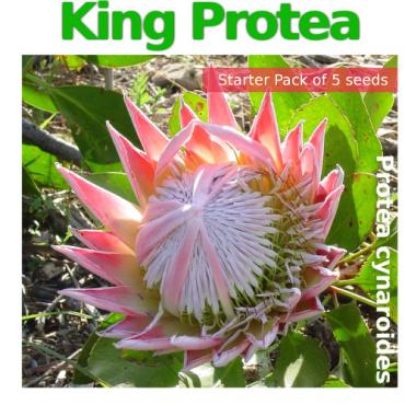 King Protea Single Pack (contains 5 Protea cynaroides seeds)