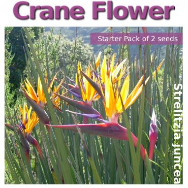 Strelitzia juncea, Crane Flower (contains 2 seeds)