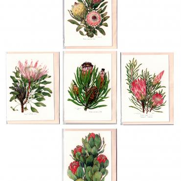 Professor Stanley Seagriefs Protea Watercolors reproduced on Greeting Cards with cream envelopes