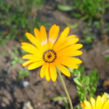Dimorphotheca sinuata, 'African or Namaqualand' daisy